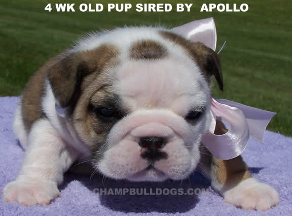 English Bulldog photos