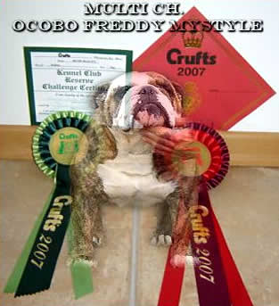 Bulldog Ocobo Freddy Mystyle photo