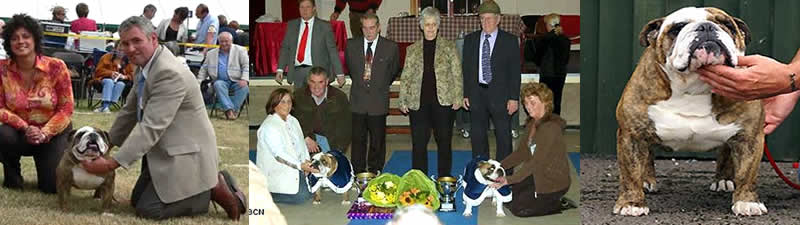 English Bulldog Mystyle Bulldogs