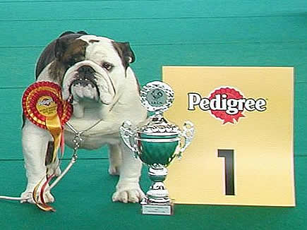 English Bulldog Captain Hudson With Mystyle
